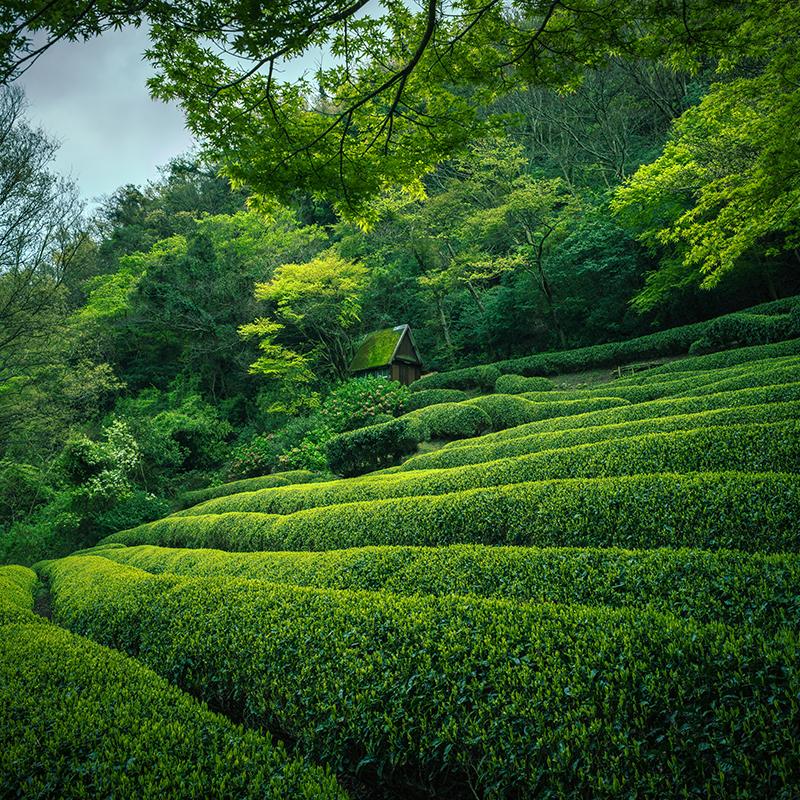 Mitől különleges a matcha tea? Eláruljuk!
